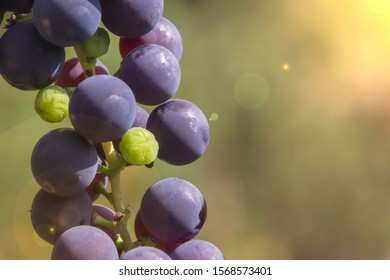 dark grapes close up Isabella twig