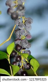 Dark grapes outside
