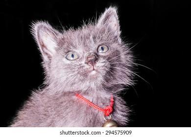 dark gray kitten isolated on black background, halloween style