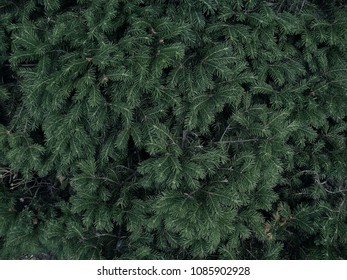 Dark green background with fir tree branches