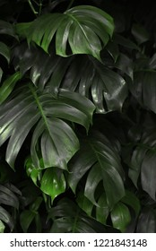 Dark green background texture of Monstera leaves in a lush, tropical jungle