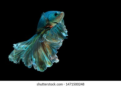 "Dark green betta fish ""Fancy Halfmoon Betta"" The moving moment beautiful of Siamese Fighting fish in Thailand. Betta splendens Pla-kad (biting fish), Rhythmic of Betta fish isolated on black backgroun"