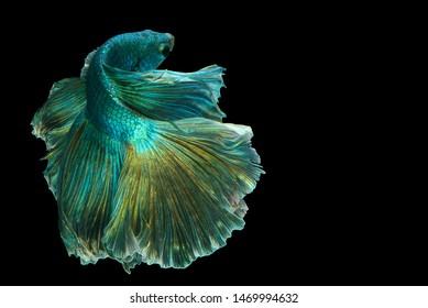 "Dark green betta fish""Fancy Halfmoon Betta"" The moving moment beautiful of Siamese Fighting fish in Thailand. Betta splendens Pla-kad (biting fish), Rhythmic of Betta fish isolated on black background"