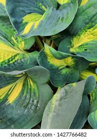 Dark Green bush Hosta. Hosta leaves. Nature background image. Beautiful Hosta leaves background. Hosta - an ornamental plant for landscaping park and garden design