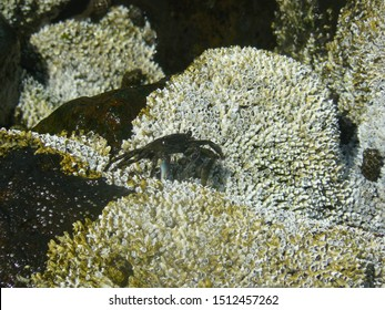 A dark green crab with blue claws walking over white barnacles