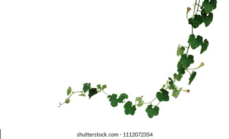 Dark green crinkly leaves vine plant of ash pumpkin or wax gourd hanging vines with tendrils growing in wild isolated on white background, clipping path included.