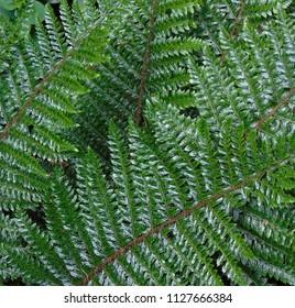 dark green fern leafs