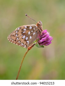 Dark green fritillary butterfly (Argynnis aglaja) towards the top of a purple flower with soft light