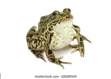 Dark green frog on white background