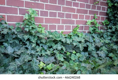Dark green ivy vines growing up a red brick wall.
