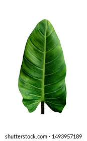 Dark green leaf heart shape philodendron imbe on white background