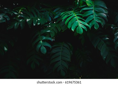 Dark Green leaf of Philodendron texture