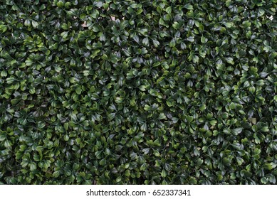 Dark green leafy texture close up. Plant and leaf background