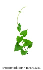 dark Green leaves of Cantaloupe (Muskmelon) with yellow flowers and tendrils, pumpkin leaf-like hairy vine plant isolated on white background with clipping path. HD Image and Large Resolution.
