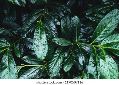 Dark green leaves foliage background. Rhododendron with raindrops on waxy leaves.