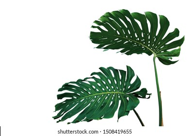 Dark green leaves of monstera plant or split-leaf philodendron (Monstera deliciosa) the tropical foliage popular houseplant isolated on white background, clipping path included.