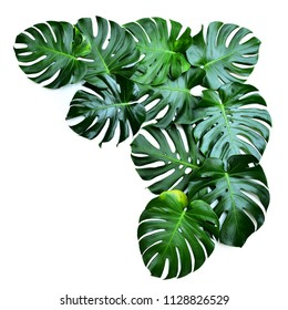 Dark green leaves monstera or split leaf philodendron the symbolic unique of tropical paradise jungle large leafs foliage plant growing in wild Swiss Cheese Plant isolated on white with clipping path.