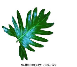 Dark green leaves of monstera or split leaf philodendron (Monstera deliciosa) the tropical foliage plant growing in wild isolated on white background, clipping path included.