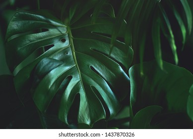 Dark green leaves of monstera (split-leaf philodendron) tropical foliage plant growing in wild. Floral background. top view - in dark tone. Toned picture. Filter applied.