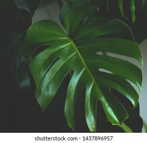 Dark green leaves of monstera (split-leaf philodendron) tropical foliage plant growing in wild. Floral background. top view - in dark tone