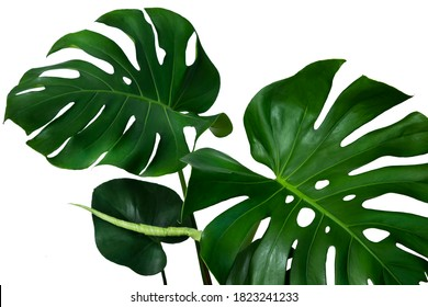 Dark green leaves of monstera or split-leaf philodendron (Monstera deliciosa)tropical foliage isolated on white background, clipping path included.