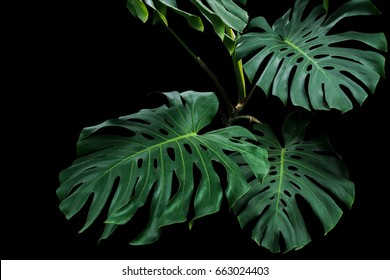 Dark green leaves of monstera or split-leaf philodendron (Monstera deliciosa) the tropical foliage plant growing in wild on black background, clipping path included.
