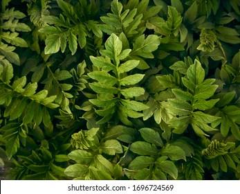 Dark green leaves on a dark background.