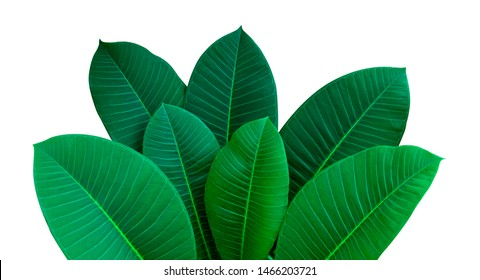Dark green leaves on a white background