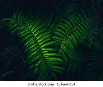 Dark green leaves pattern background.Natural green fern in the forest.