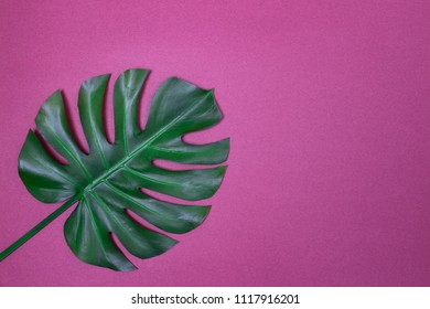 Dark green Monstera palm leaf on purple background, with copy space. Tropical theme.