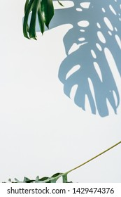 Dark green Monstera (Swiss cheese plant) leaves isolated, casting shadows on a white background