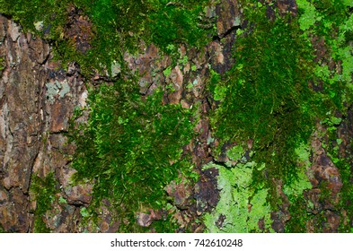 A lot of dark green moss and light green lichen on a brown bark of a tree texture. Close-up macro shot.