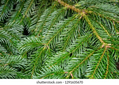Dark green needles on the branches of coniferous tree fir Abies nordmanniana as dark green background. Close-up of branches Caucasian Fir or Christmas tree in natural sunlight. Place for your text.