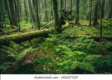 Dark green rainforest with broken trees roots and moss on Mitrovac Tara national park in Serbia.