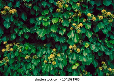 Dark green vines with bright yellow flowers in bloom