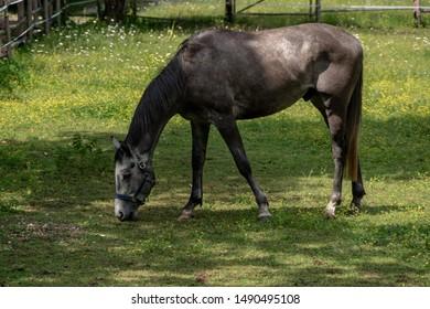 Dark grey horse grazing on grass