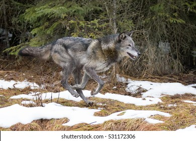 dark grey wolf running out of forest in winter