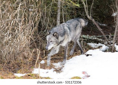dark grey wolf walking out of woods in snow
