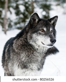 Dark grey wolf in winter