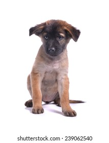 A  dark  happy  puppy dog is sitting, isolated on white background