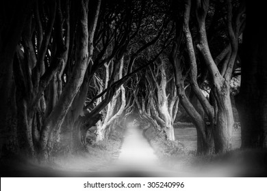Dark Hedges in Armoy, Northern Ireland at the evening cloudy rainy weather with fog. Black-and-white image with selective focus