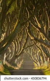 Dark Hedges - beech trees lane in Northern Ireland. Northern Ireland