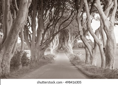 Dark Hedges, County Antrim, Northern Ireland, UK in Black and White Sepia Tone