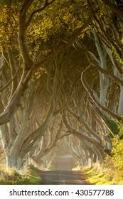 Dark hedges - small beech trees lane in Northern Ireland