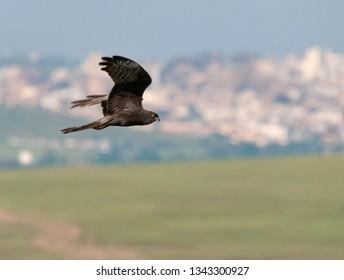 Dark immature male Montagu's Harrier (Circus pygargus) in flight over rural landscape in Spain.