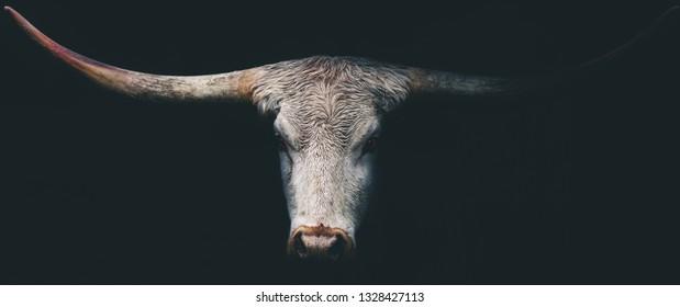 Dark Longhorn Cow