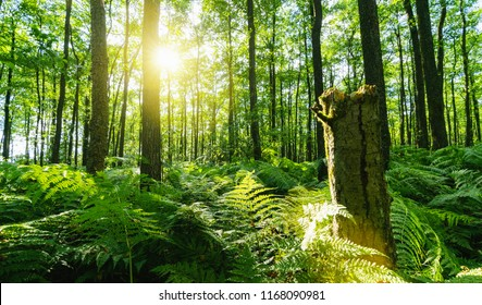 Dark magic forest with sunshine and ferns covering the Ground