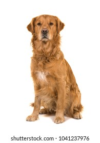 Dark male golden retriever dog male sitting looking at the camera isolated on a white background