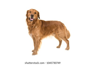 Dark male golden retriever dog standing looking at the camera isolated on a white background