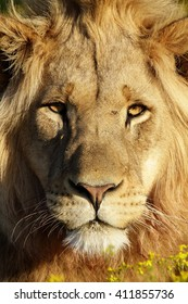 A dark maned sub adult male lions approaches,walking straight towards the camera,in this beautiful low angle profile portrait taken in the eastern cape,south africa